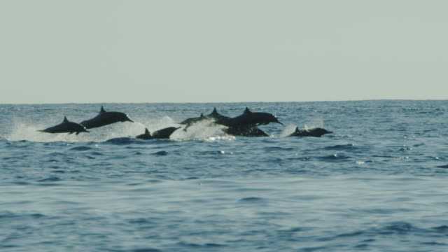 SLOMO track with close group of Spinner Dolphins leaping