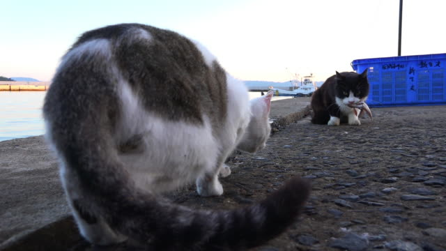 stockvideo's en b-roll-footage met track with feral domestic cat threatening cat with fish in its mouth which runs away - kleine groep dieren