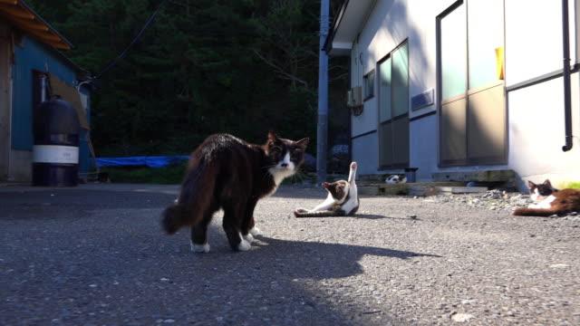 vídeos de stock, filmes e b-roll de track with feral domestic cat threatening second cat on road - grupo médio de animais
