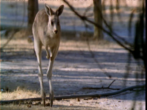 Track with grey kangaroo as it hops then halts in bush, Victoria