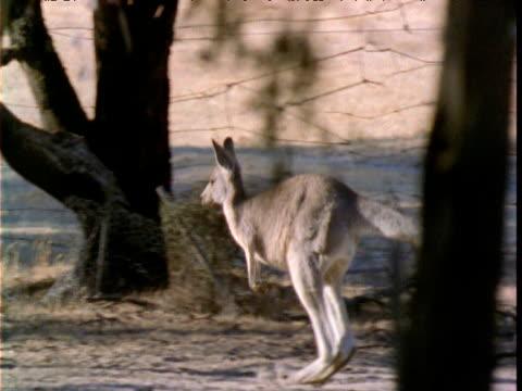 Track with grey kangaroo as it hops through bush, Victoria