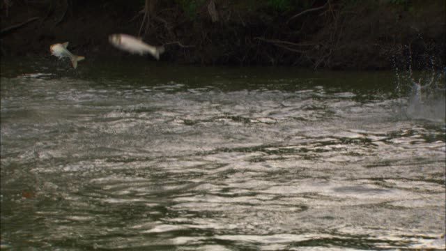 Track with group of Asian Silver Carp jumping out of river close to bank