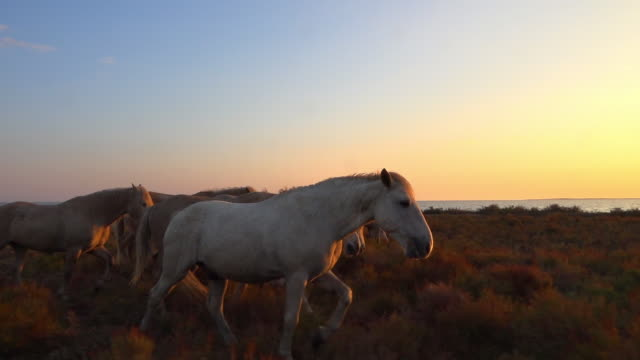 vidéos et rushes de ms track with group of camargue horses with herders walking in evening sun with sunset behind - plan en travelling