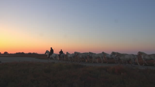 vídeos y material grabado en eventos de stock de ws track with group of camargue horses with herders walking in evening sun - toma en travelling