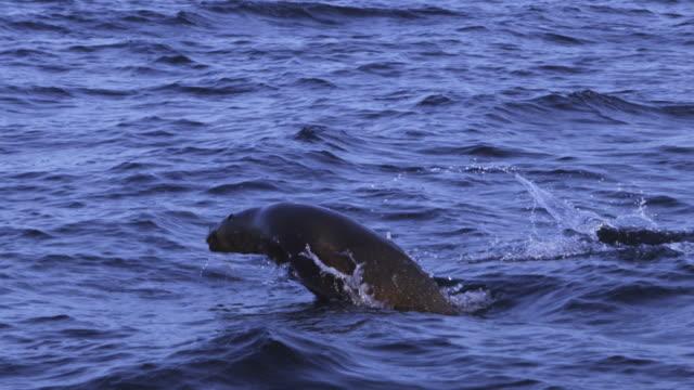 vídeos y material grabado en eventos de stock de slomo ms track with group of cape fur seals swimming in profile in open sea - foca peluda del cabo