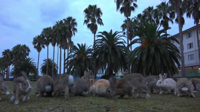slomo track with group of feral domestic rabbits foraging on rough grass with hotel in background - foraging stock videos & royalty-free footage