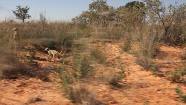 track with group of meerkats foraging in scrubland - 食糧を捜す点の映像素材/bロール
