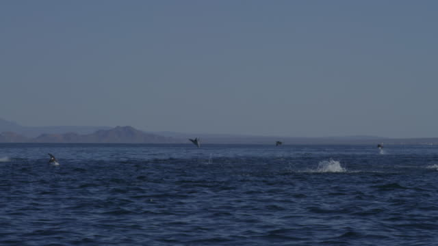 Track with group of Mobula Rays leaping from water with shoreline in distant background