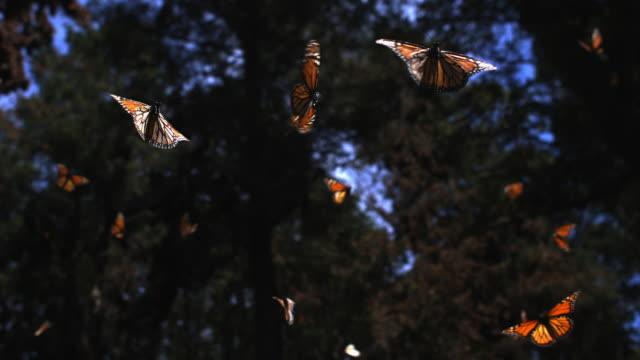 slomo la track with group of monarch butterflies flying in forest clearing - michoacán video stock e b–roll