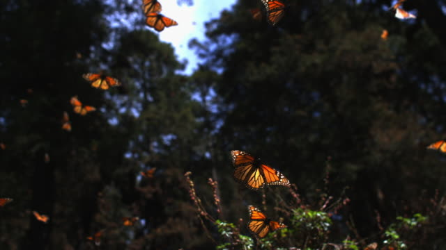 stockvideo's en b-roll-footage met slomo la track with group of monarch butterflies flying in forest clearing - laag camerastandpunt