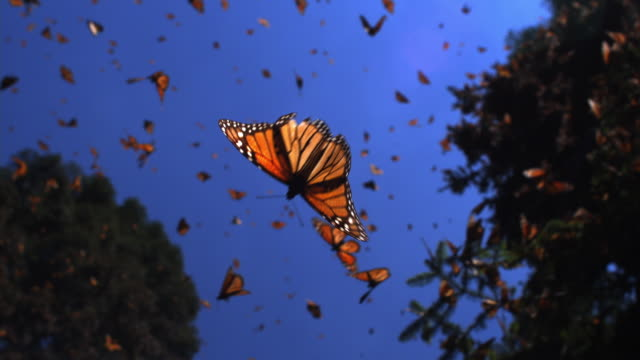 vidéos et rushes de slomo la track with group of monarch butterflies flying in forest clearing - papillon