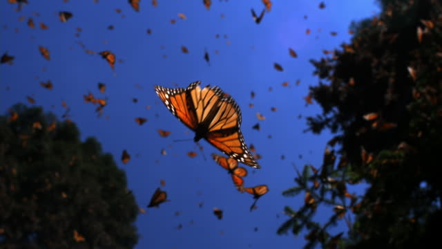 slomo la track with group of monarch butterflies flying in forest clearing - comportamento animale video stock e b–roll