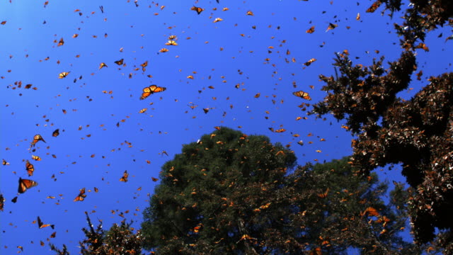 slomo la track with group of monarch butterflies flying in forest clearing - farfalla video stock e b–roll