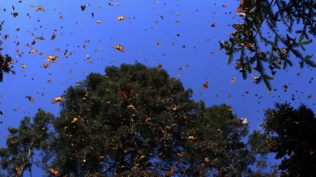 vídeos de stock, filmes e b-roll de slomo la track with group of monarch butterflies flying in forest clearing - artrópode