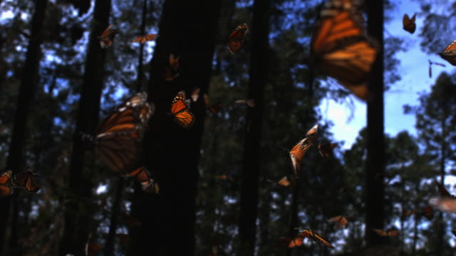 slomo track with group of monarch butterflies flying over forest floor - schmetterling stock-videos und b-roll-filmmaterial