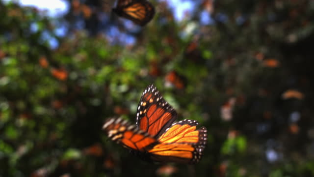 slomo cu track with group of monarch butterflies flying over forest floor - natürliches muster stock-videos und b-roll-filmmaterial
