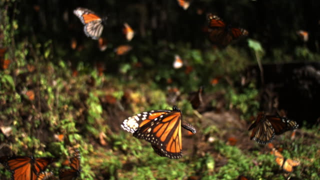vídeos de stock e filmes b-roll de slomo track with group of monarch butterflies flying over forest floor - inseto