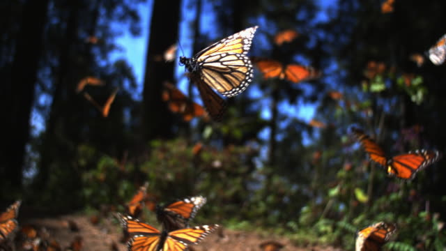 slomo track with group of monarch butterflies flying over forest floor - farfalla video stock e b–roll