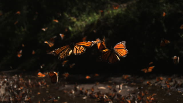 vídeos de stock, filmes e b-roll de slomo track with group of monarch butterflies taking off from pool on forest floor - grupo grande de animais