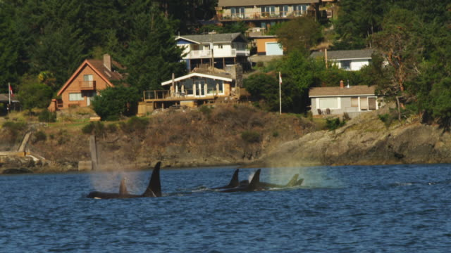vídeos de stock, filmes e b-roll de track with group of orcas surfacing to breathe in profile close to rocky shoreline with houses in background - organismo aquático