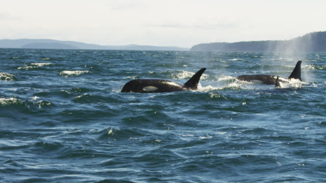 Track with group of Orcas surfacing to breathe in profile in rough sea with coastline in distance