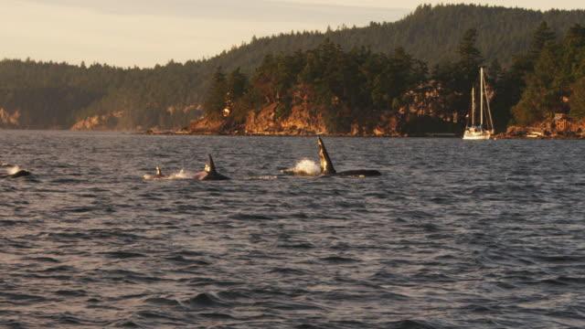 vídeos y material grabado en eventos de stock de track with group of orcas surfacing to breathe in profile with wooded coastline in background - grupo pequeño de animales