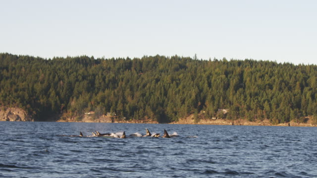 track with group of orcas surfacing to breathe in profile with wooded coastline in background - surfacing stock videos & royalty-free footage