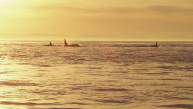 Track with group of Orcas surfacing to breathe with sunset in background