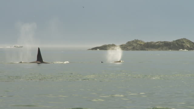 track with group of orcas with calf surfacing to breathe in profile with island in background  - cetacea bildbanksvideor och videomaterial från bakom kulisserna