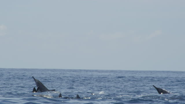 Track with group of Spinner dolphins and one leaps and does 3 spins in profile
