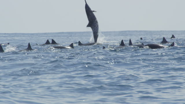 Track with group of Spinner dolphins and one leaps and does 5 spins in profile