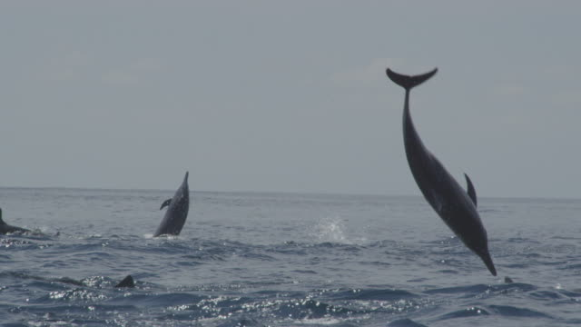 track with group of spinner dolphins and one leaps vertically and does 3 spins in profile then nosedives - cetaceo video stock e b–roll