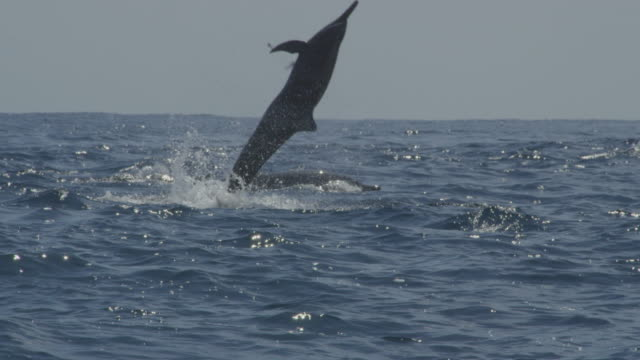 track with group of spinner dolphins and one leaps vertically and does 3 spins in profile then nosedives - spinner dolphin stock videos & royalty-free footage