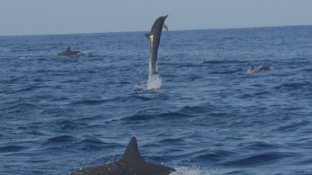 SLOMO track with group of Spinner dolphins swimming in profile and 2 leaping and spinning energetically