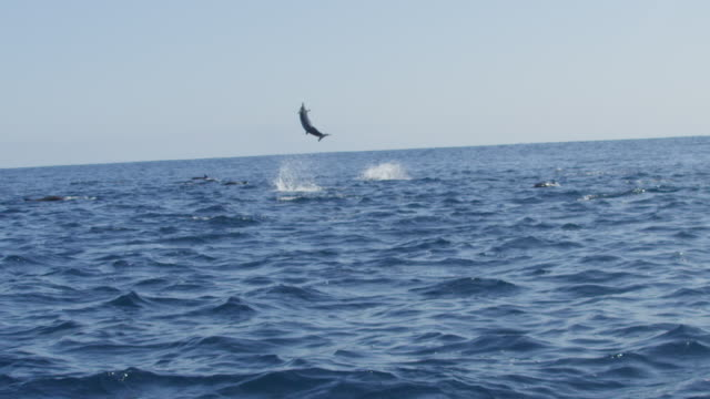 slomo track with group of spinner dolphins swimming in profile and 2 leaping and spinning  - cetaceo video stock e b–roll