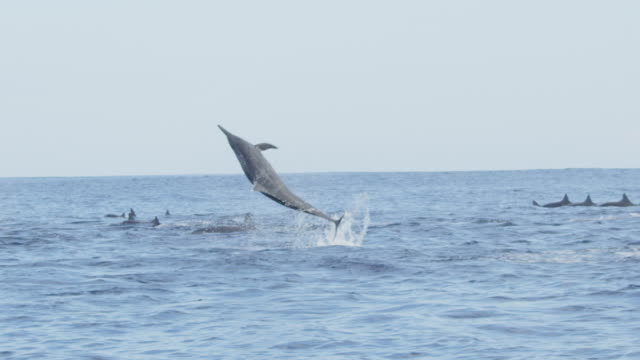 vídeos de stock e filmes b-roll de slomo track with group of spinner dolphins swimming in profile and 2 leaping and spinning  - golfinho pintado pantropical