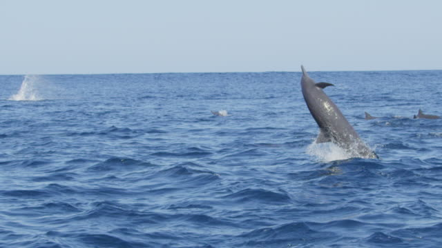 slomo track with group of spinner dolphins swimming in profile and 3 leaping and spinning energetically - provinz puntarenas stock-videos und b-roll-filmmaterial