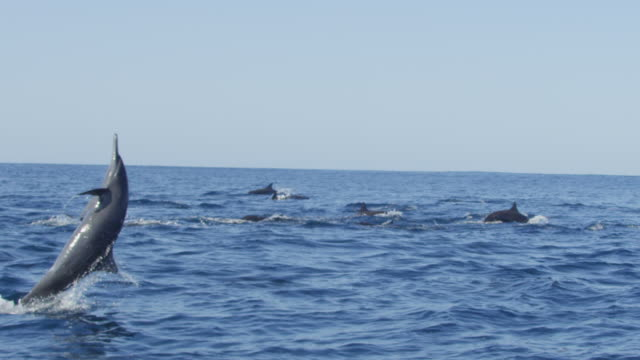 slomo track with group of spinner dolphins swimming in profile and one leaping and spinning in foreground - provinz puntarenas stock-videos und b-roll-filmmaterial