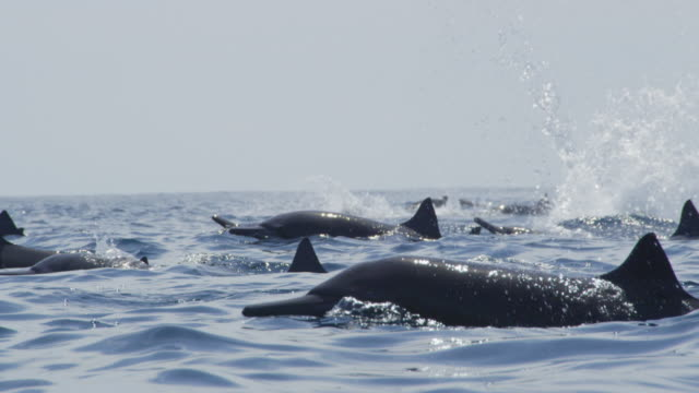slomo track with group of spinner dolphins swimming in profile and others spinning out of frame in background - spinner dolphin stock videos & royalty-free footage