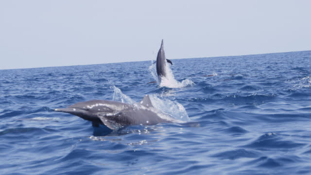 vidéos et rushes de track with group of spinner dolphins with 1 leaping and doing 3 spins energetically - dauphin