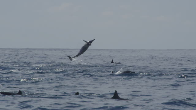 vídeos y material grabado en eventos de stock de track with group of spinner dolphins with 3 leaping and spinning energetically in background - delfín moteado