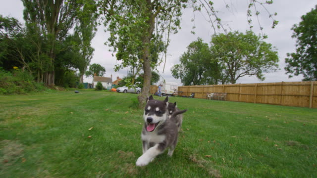 track with group of tamaskan pups running to camera in garden - welpe stock-videos und b-roll-filmmaterial