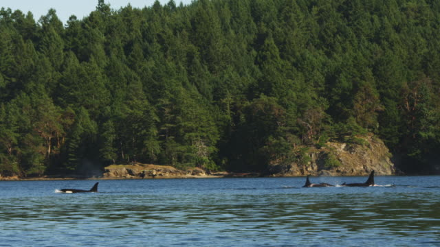 track with large group of orcas including calf surfacing to breathe in profile close to wooded shoreline - cetacea stock videos & royalty-free footage