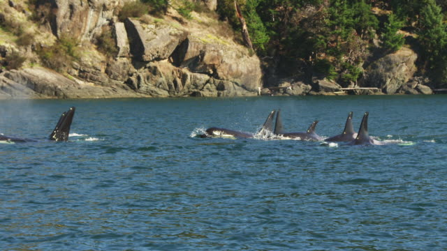 track with large group of orcas surfacing to breathe towards camera near to rocky shoreline  - killer whale stock videos & royalty-free footage