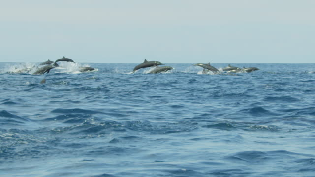 slomo track with large group of spinner dolphins swimming fast in profile in bright sunlight - provinz puntarenas stock-videos und b-roll-filmmaterial