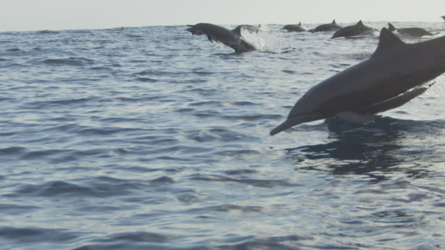 vídeos de stock e filmes b-roll de slomo track with large group of spinner dolphins swimming fast in profile - golfinho pintado pantropical
