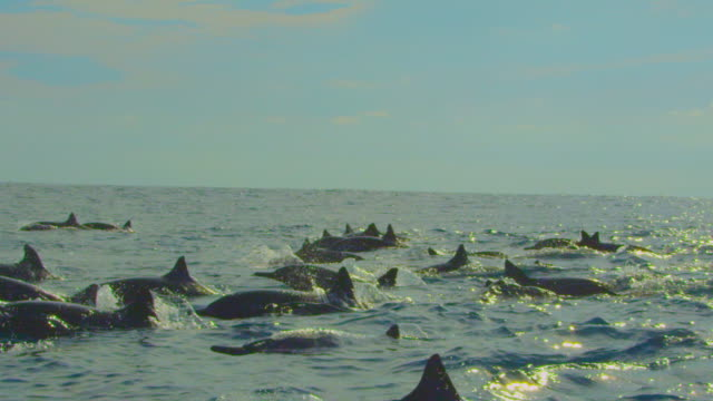 slomo track with large group of spinner dolphins swimming in profile in sunlight - spinner dolphin stock videos & royalty-free footage