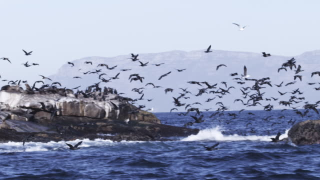 stockvideo's en b-roll-footage met slomo track with massed cape cormorants flying from rocks with cape fur seal colony - cormorant