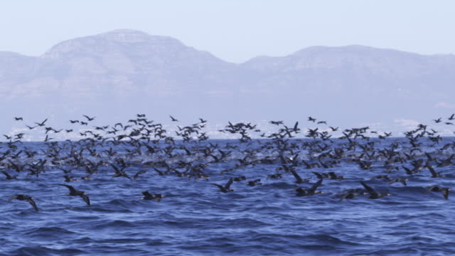stockvideo's en b-roll-footage met slomo track with massed cape cormorants flying over sea with shoreline in background - cormorant