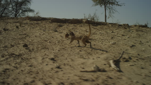 track with meerkat carrying pup in its mouth across sand to rest of group - carrying stock videos & royalty-free footage